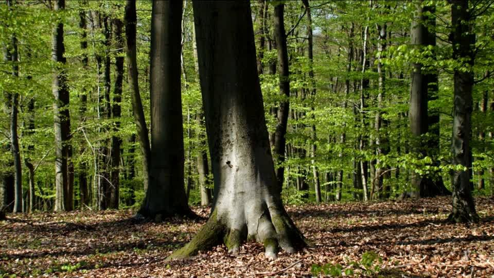 Photo d'une forêt (source: http://footage.framepool.com/shotimg/qf/451163628-beech-forest-forest-soil-leaf-spring-season.jpg)