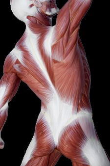 Image du corps musculaire humain (souce: http://www.wellnessadvisoryservices.org/wp-content/uploads/fascia.jpg)