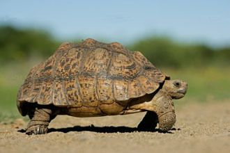 Photo d'une tortue (source: http://www.animal-compagnie.fr/nac/photo%20tortue.jpg)