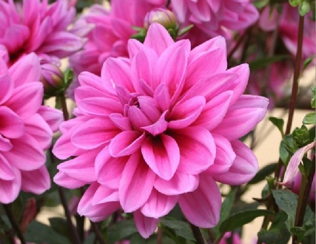 Photo d'une dahlia (source: http://media.gerbeaud.net/2014/03/640/dahlia-decoratif-camelia-maree-bleue.jpg)