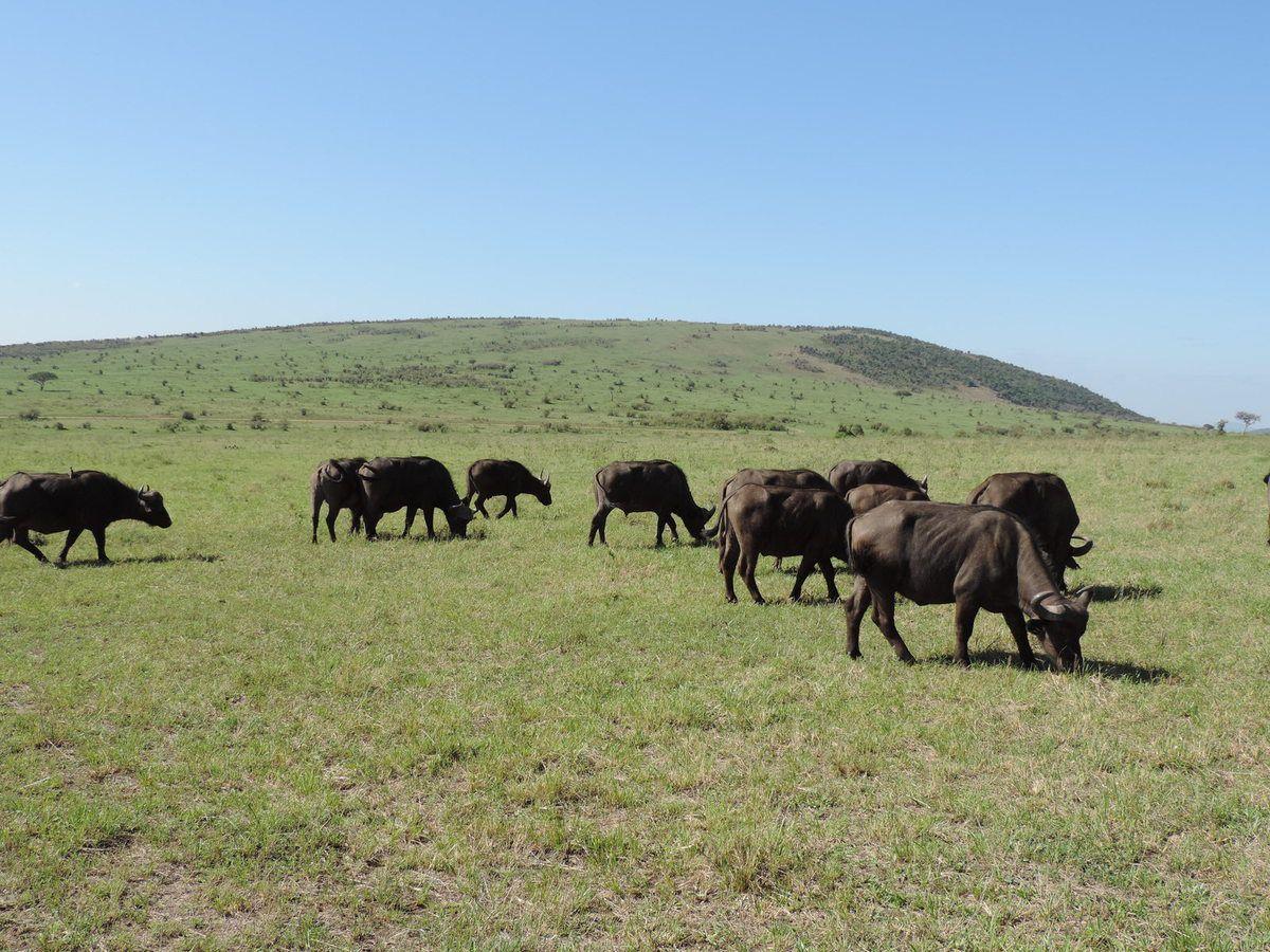 Buffaloes, yha kenya travel, kenya, kenya adventure travel, adventure holidays, kenya safari, small group adventures, small group safaris, small group safaris kenya, kenya safaris, kenya budget safaris, kenya camping safaris, kenya adventure safaris,