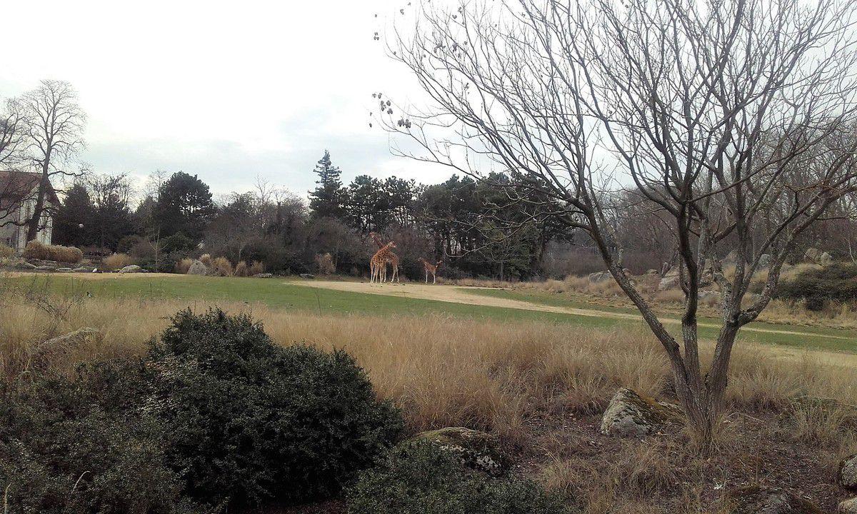 l'immense parc des girafes (couple et leur petit)