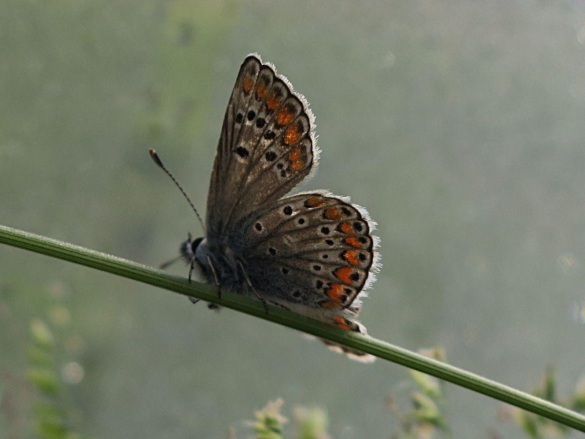 Argus bleu - Polyommatus icarus (femelle)