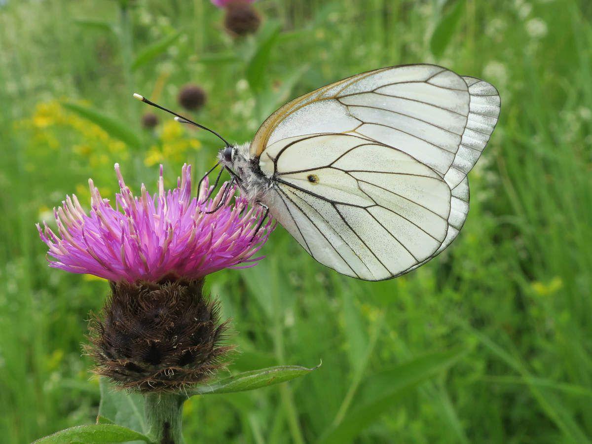 Gazé femelle sur une inflorescence de centaurée