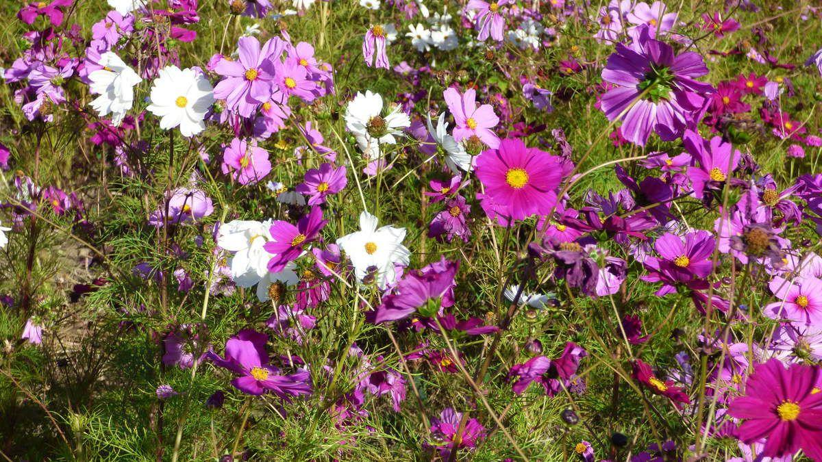 Fleurs de jachère et cyclamens.