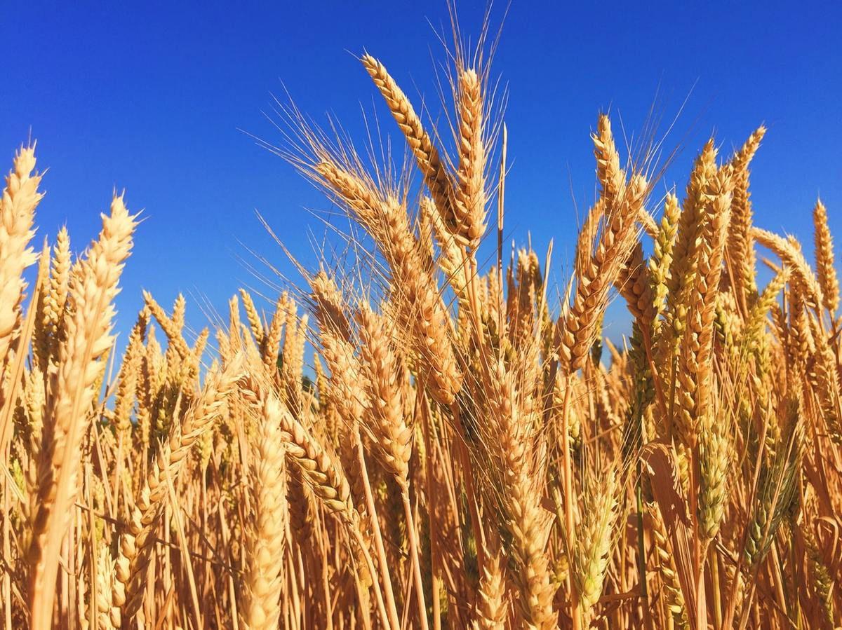 Si le grain de blé tombé en terre ne meurt pas, il reste seul, mais s'il meurt il donne beaucoup de fruits EV de Jean 12-24-26
