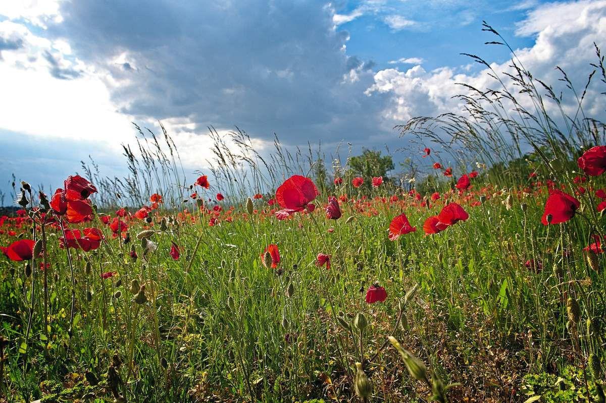 coquelicot champs de fleurs gard