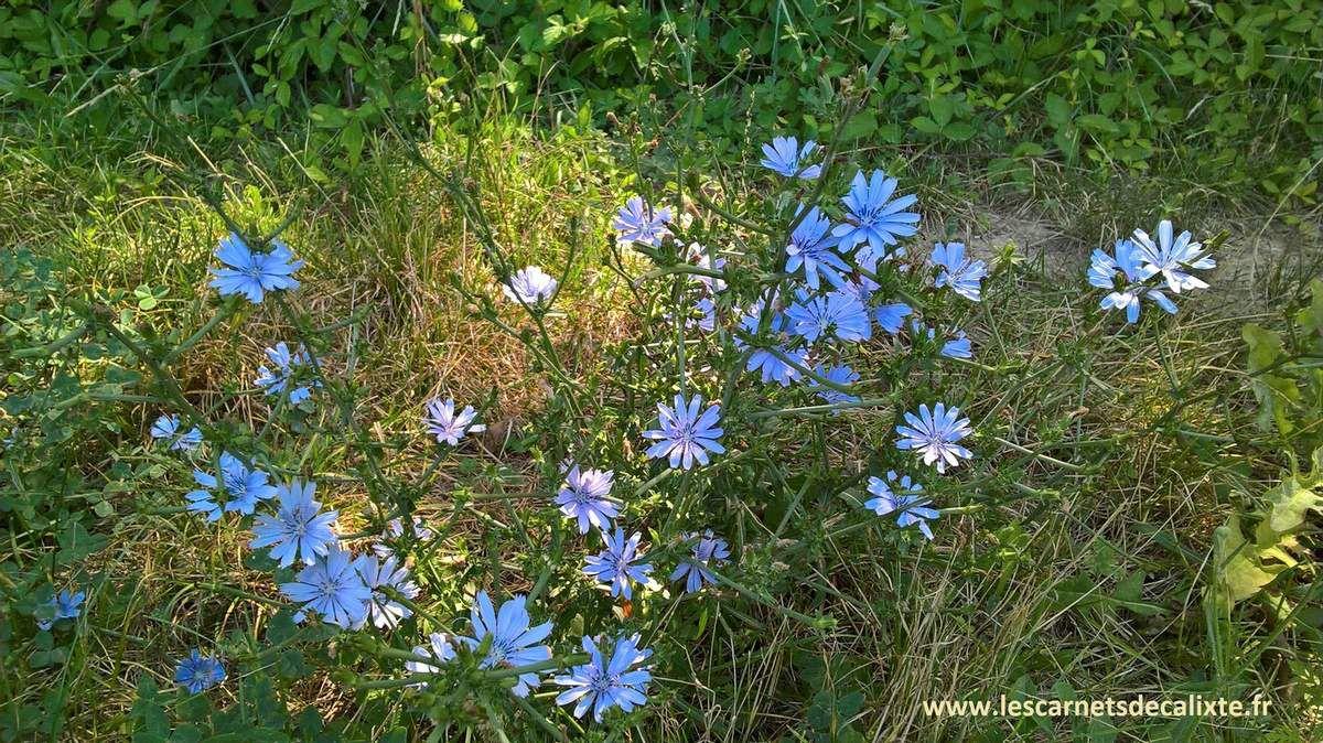 fleurs de chicorée garrigue sauvage