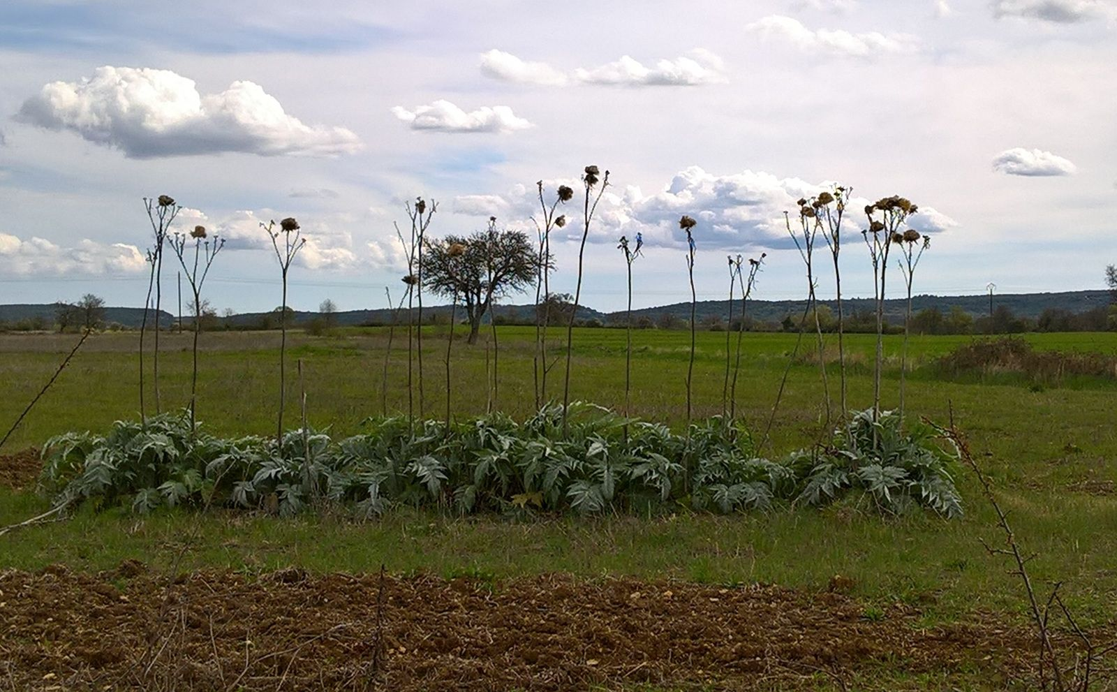 artichauts plaine