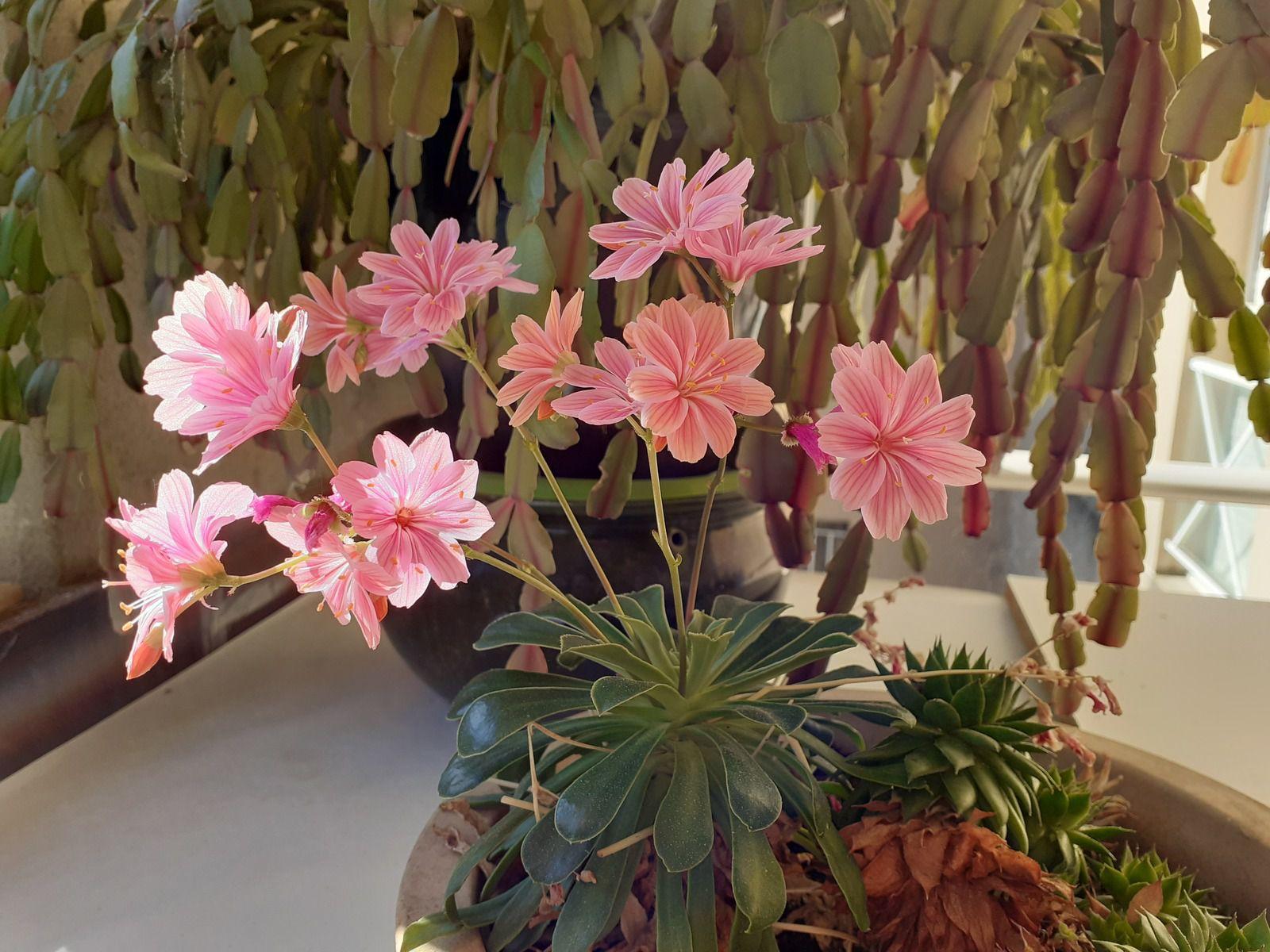lewisia en fleurs