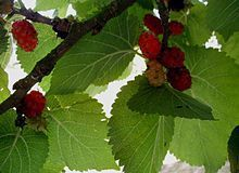 Le temps des mûres-The time of mullberries