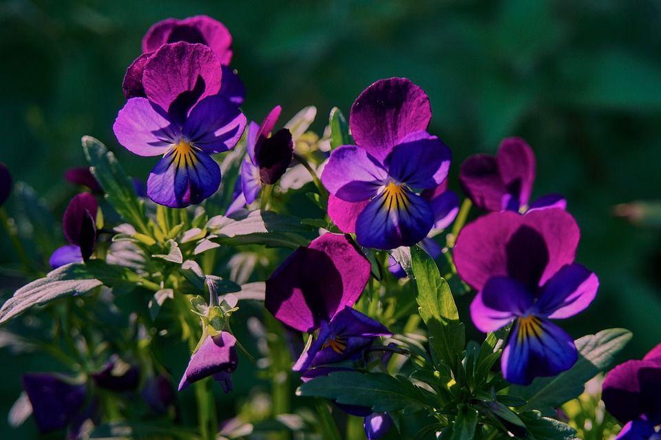 violette des jardins