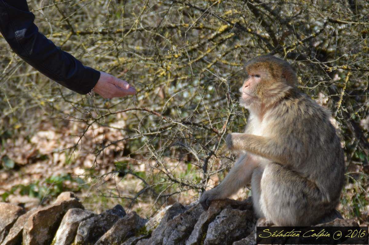 Par cette superbe journée ensoleillée, nous avons profité de la réouverture aujourd'hui de la forêt des singes à Rocamadour où nous avons pu admirer les macaques de Barbarie qui sont au nombre de 150 dans un superbe espace naturel protégé. A l'entrée, on vous donnera une poignée de pop corn qui sont des friandises pour eux et que vous pourrez leur donner mais attention, on ne touche pas! des règles de sécurité vous seront donné et vous pourrez aussi assister au repas à base de fruits organisé par les membre du parc. Vous en apprendrez beaucoup avec des explications ludiques et ainsi pourrez torde le cou aux légendes...Les singes n'ont ni poux, ni puces et sont en parfaite santé. Ils sont heureux et vivent dans un immense espace boisé de 20 hectares identique à leur milieu naturel. Nous vous invitons à vous y rendre tellement ce parc et ses membres sont protecteurs et pédagogues!
