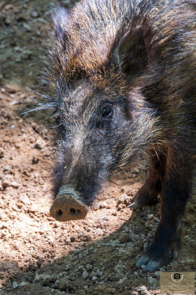 Les sangliers de Mortemart, un élevage respectueux de la nature en Dordogne