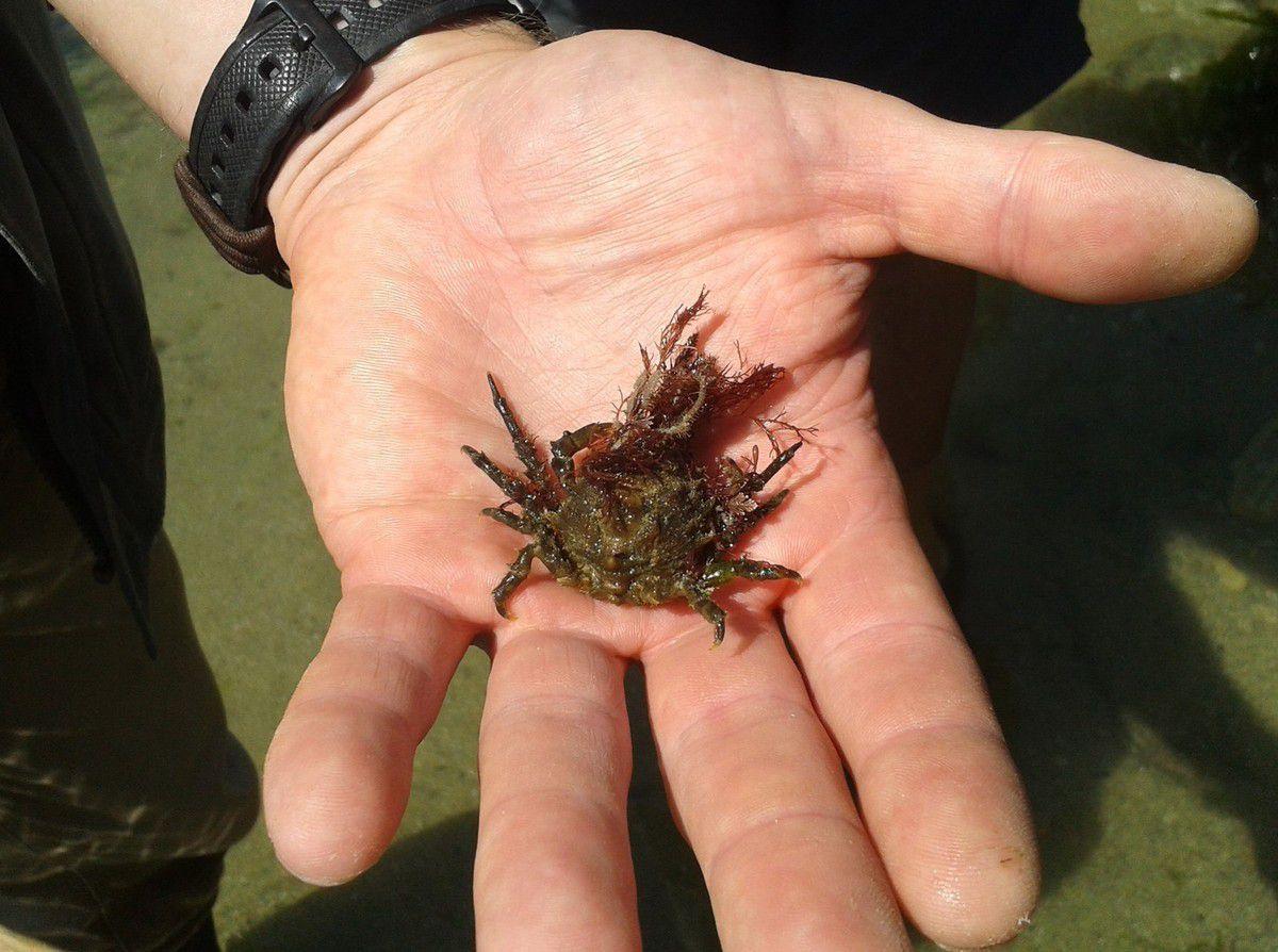 Petite Araignée (Maja squinado) qui se bouture des algues sur sa carapace pour se camoufler