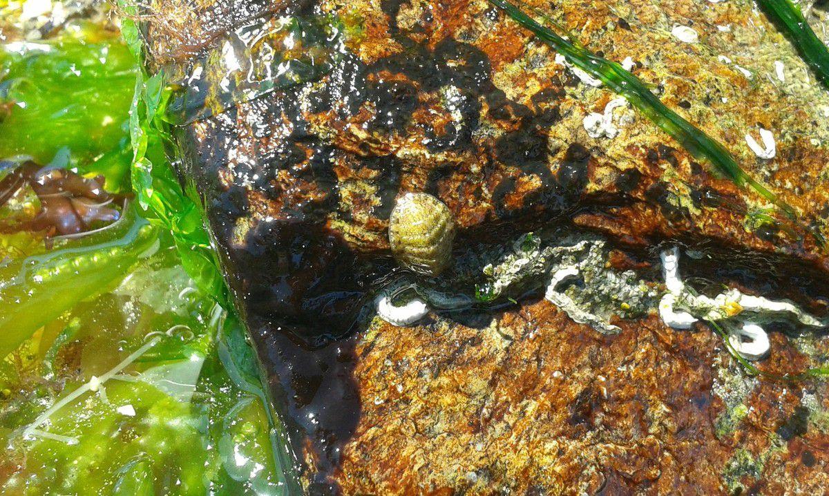 Un mollusque à l'allure préhistorique formé de 8 plaques calcaires articulées : un Chiton, vivant sous les pierres.
