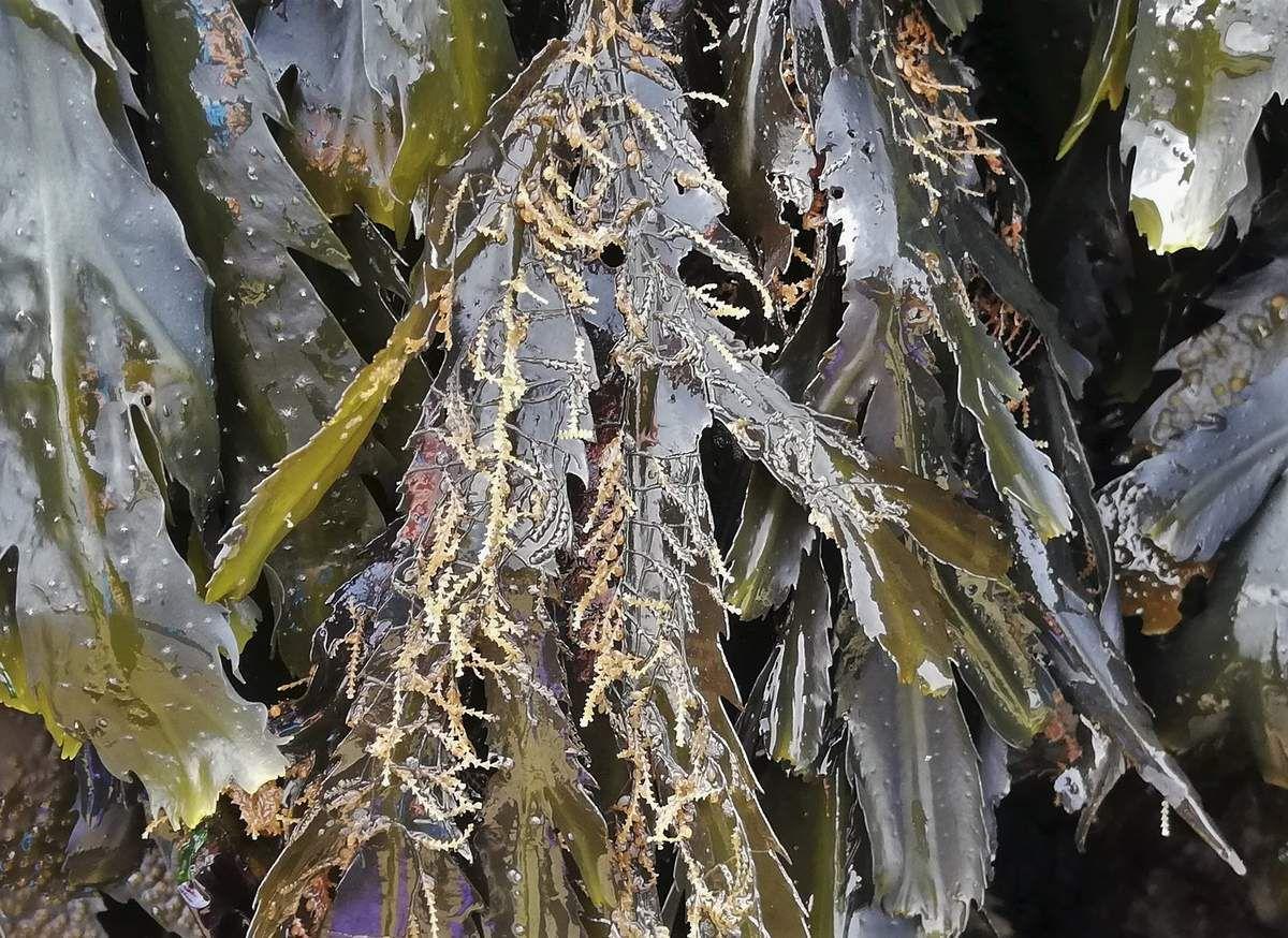 Sur Fucus dentelé, une colonie de Dynamènes : Hydraires de l'embranchement des Cnidaires (Anémones, Méduses, Coraux ...), animaux filtreurs.