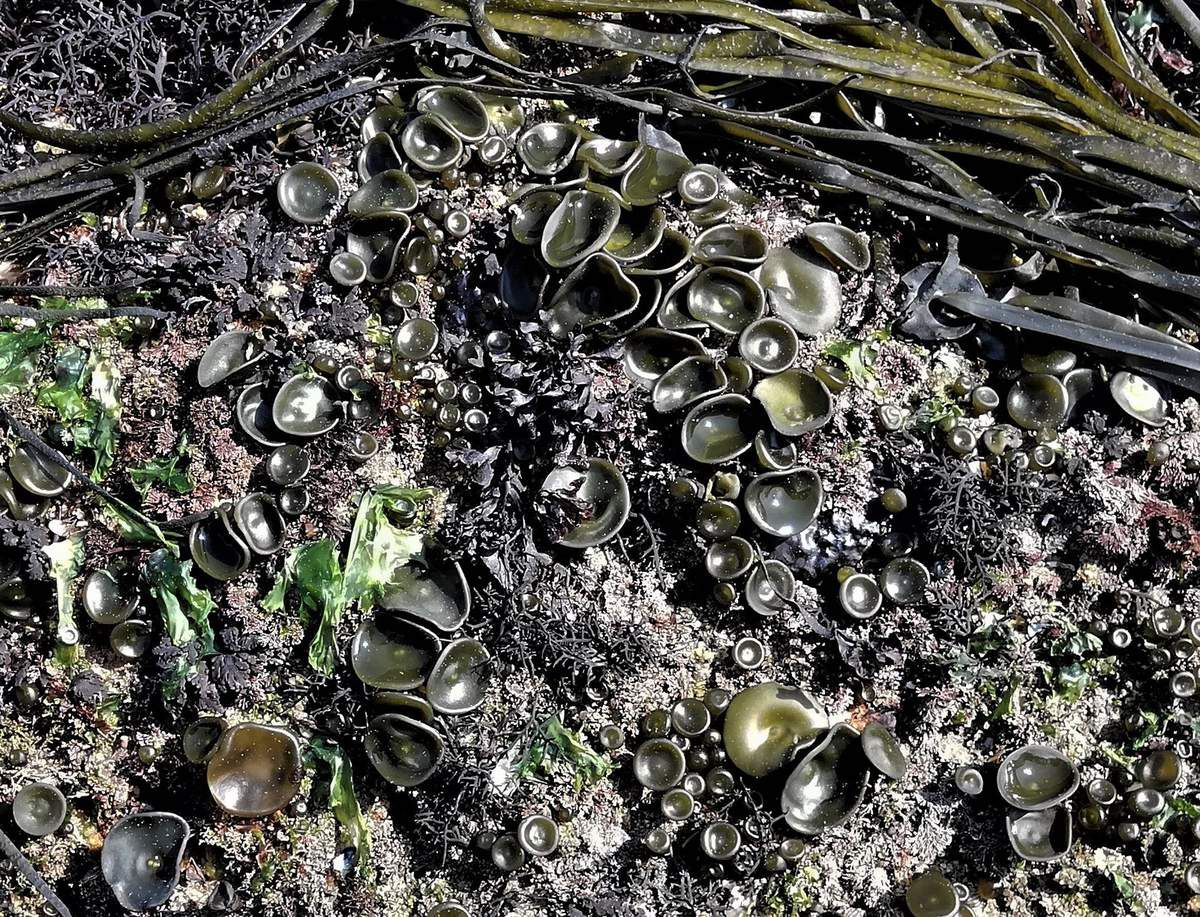 Un grand coefficient de marée fait apparaître les grandes algues brunes ainsi qu'une multitude d'algues rouges : on parle de ceinture algale marquant ainsi les étages. Les grandes Himanthales ou Haricots de mer (Himanthalia elongata) et leur disque basal (en forme de soucoupe) tapissent les rochers, suivis par les Laminaires digitées =Kombu breton (Laminaria digitata) au stipe lisse, flexible et couché ...