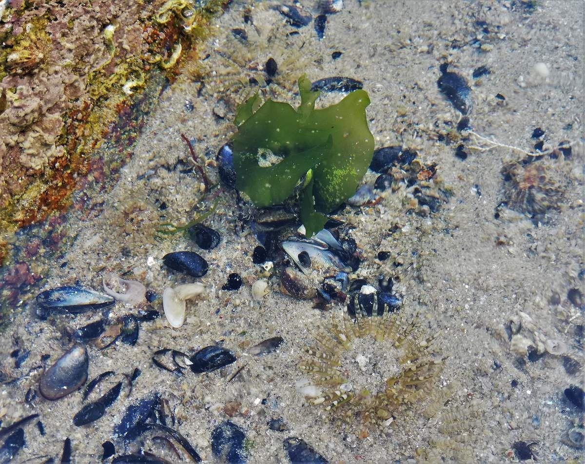 Quelques Anémones de mer aussi belles que voraces : Anémone verte (Anemonia viridis) aux tentacules teintés de mauve. Les Anémones Gemme (Aulactinia verrucosa) sont parfois nombreuses dans une même cuvette  et presque invisibles, n'est-ce pas ?;   Le Dalhia de mer est particulièrement imposant, vorace et solitaire, avec à sa droite 2 Tomates de mer (Actinia equina).