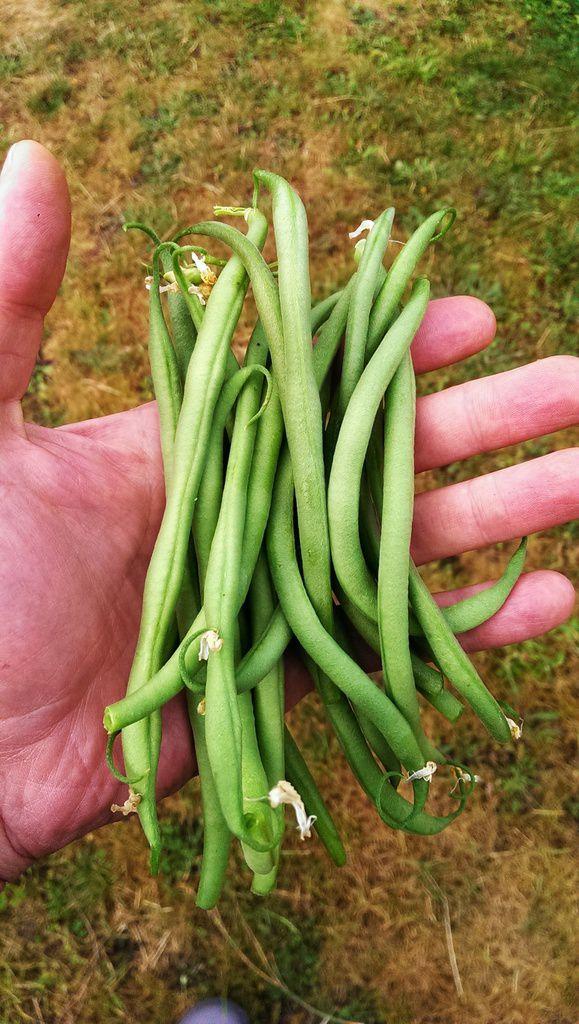 Mélange de radis ronds colorés (ferme St Marthe), Poirée (Bette à Carde), Haricot vert.