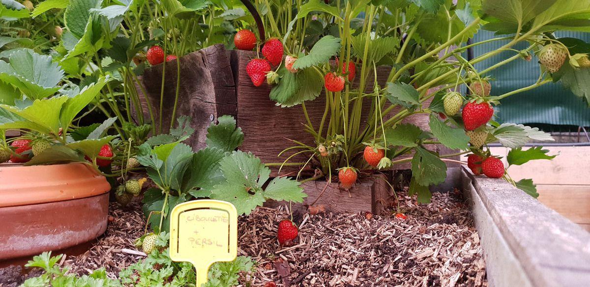 Des fraises et des radis tous les jours !