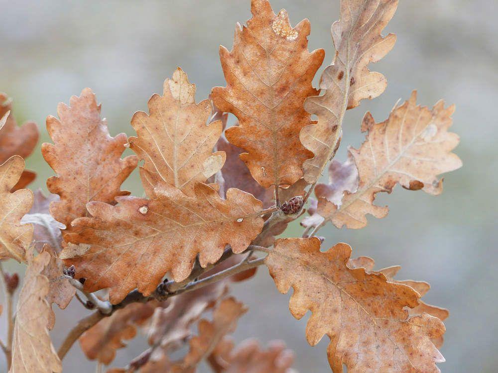 Le chêne sort de son sommeil hivernal et troque ses vieilles feuilles cuivrées contre des bourgeons prometteurs.