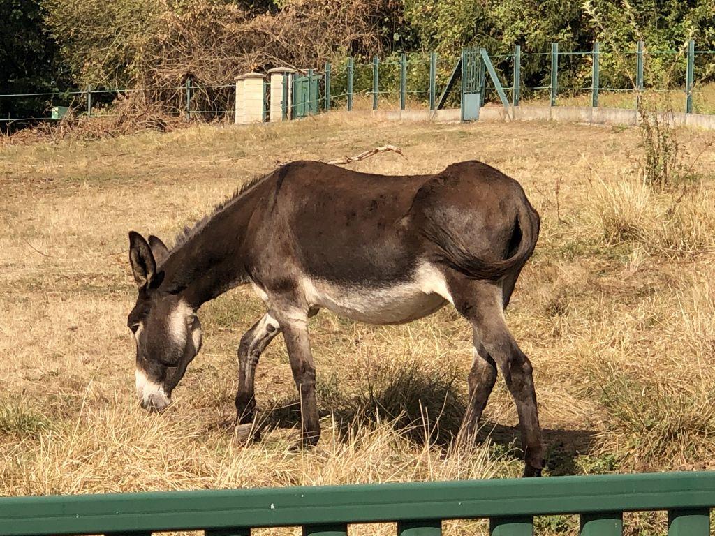 Les ânes corrèziens