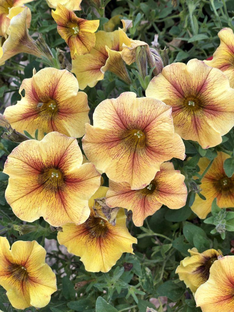 Fleurs corrèziennes