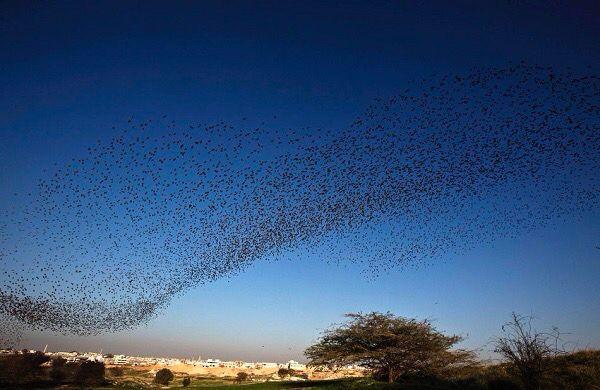 Israël12 magnifiques photos de nuées d'oiseaux qui donnent des ailes