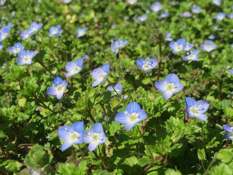 Lusus floral dans le genre Veronica