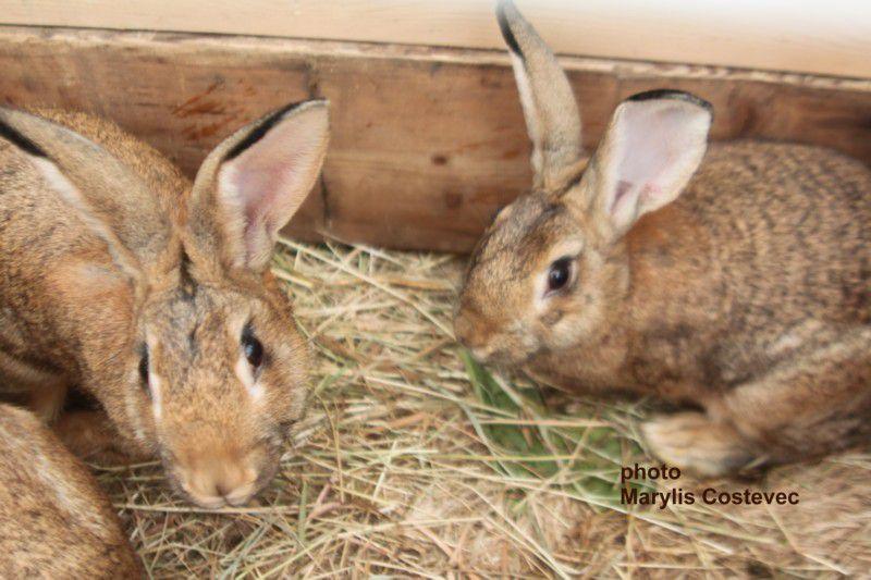 lapins domestiques