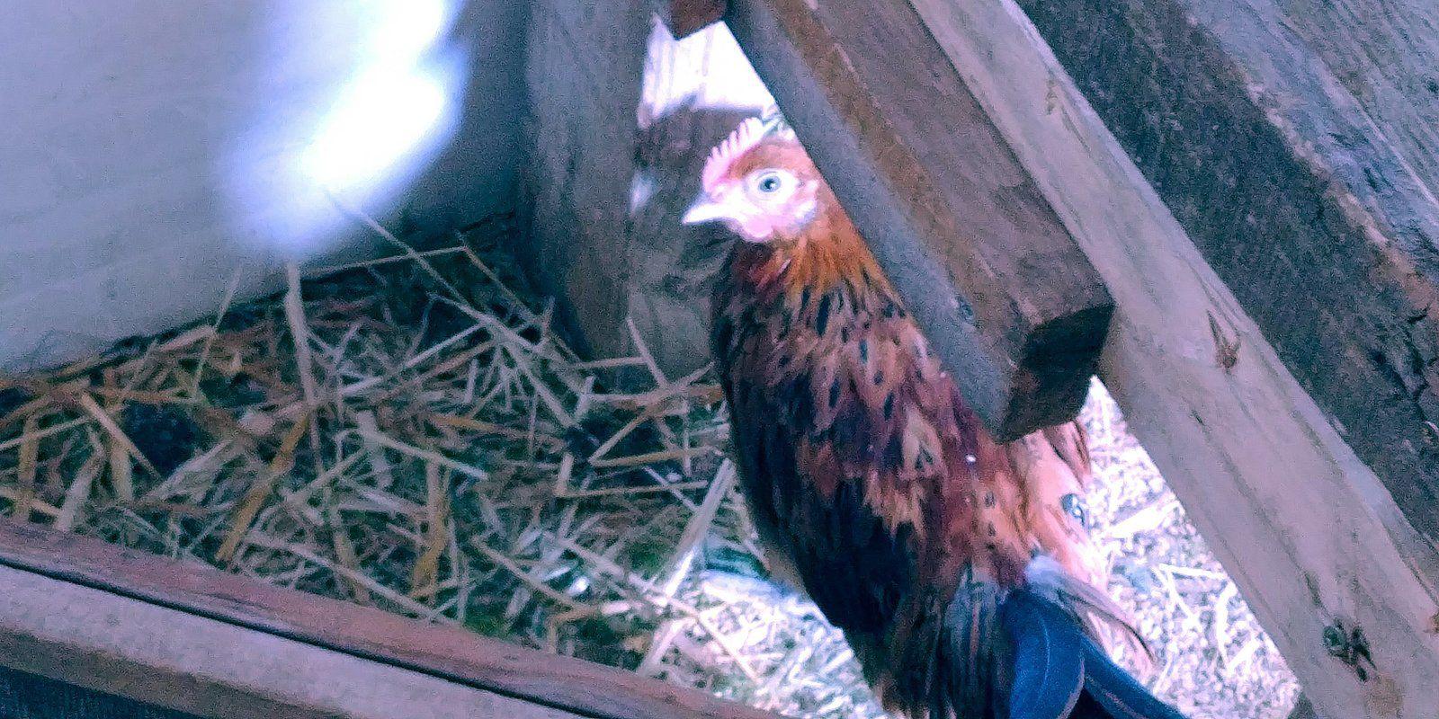 Des poules pour réduire nos déchets !