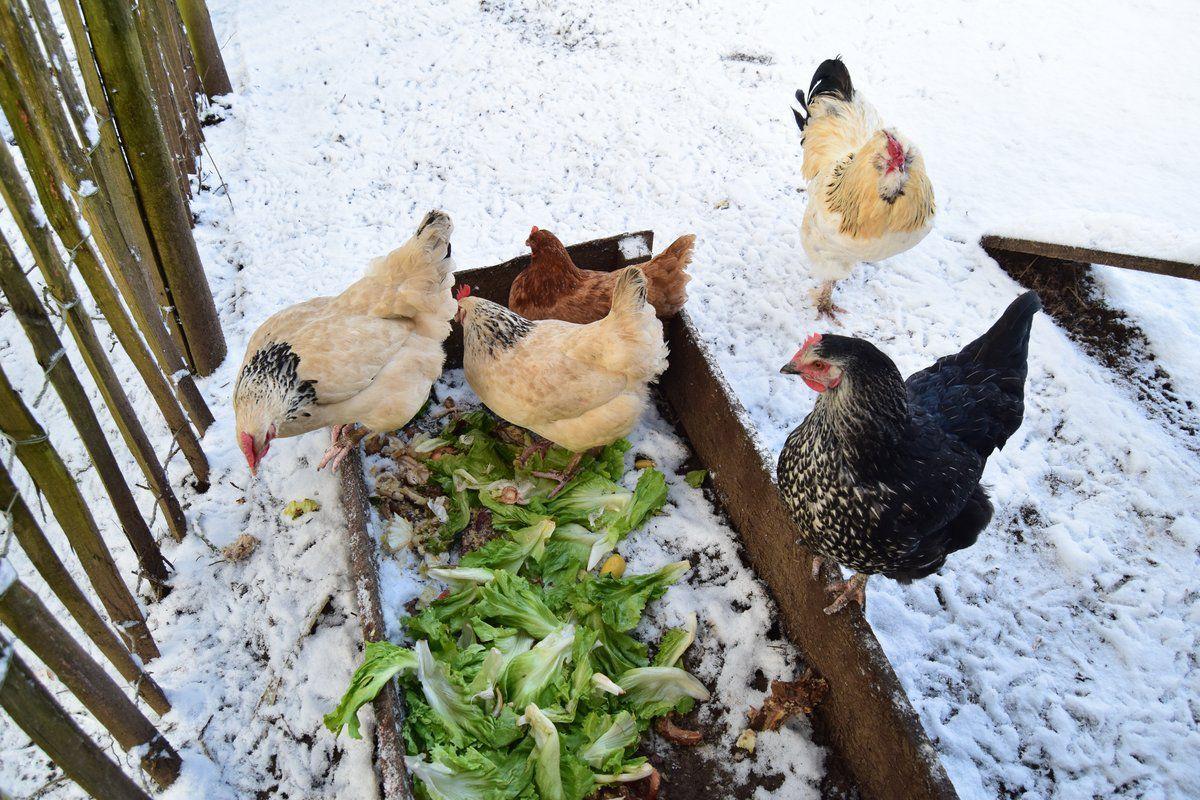 Les poules : beaucoup d'avantages, quelques problèmes... et leurs solutions.