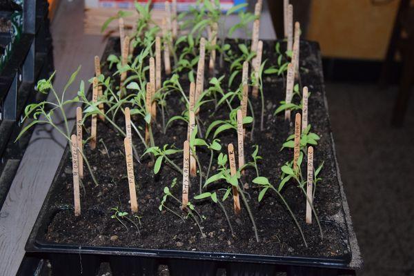 PLants de tomates qui filent à cause du manque de lumière