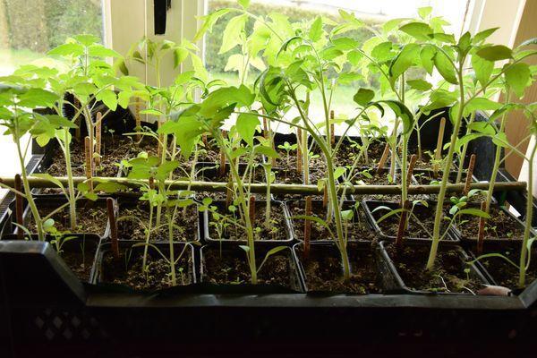 PLants de tomates à l'intérieur le 23 avril