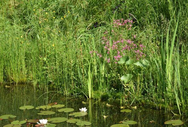 silène fleur de coucou bege mare