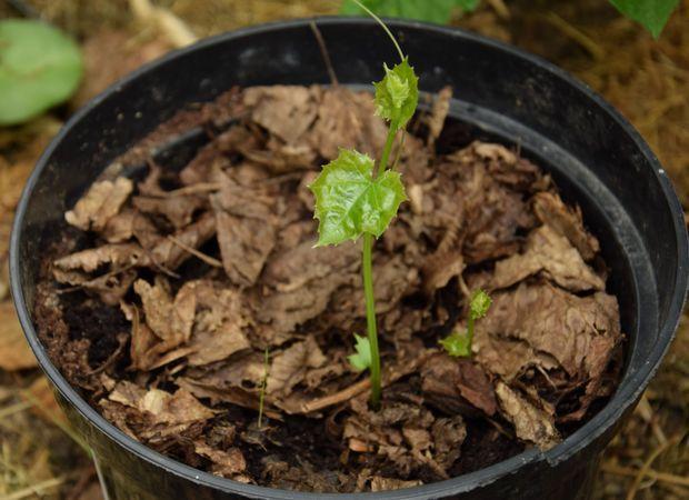 La toute jeune plante mystérieuse émerge du pot
