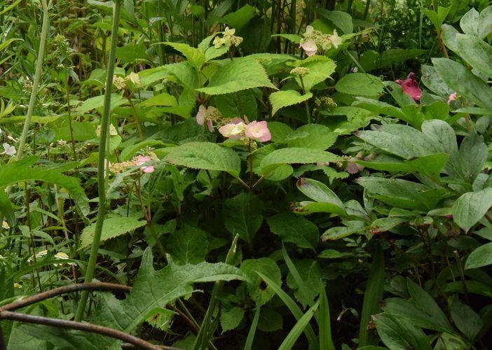 Les couleurs de l'hortensia