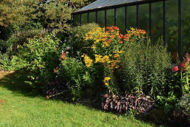 Le long de la serre, en plein soleil, la floraison des héléniums sera bientôt accompagnée de celle des asters et des vernonias