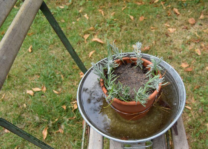 Les boutures plantées dans le pot : le long de la paroi