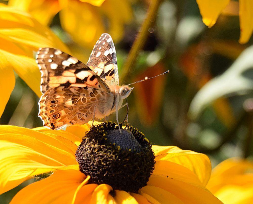 Dessous des ailes : on voit bien les ocelles  sur l'aile inférieure