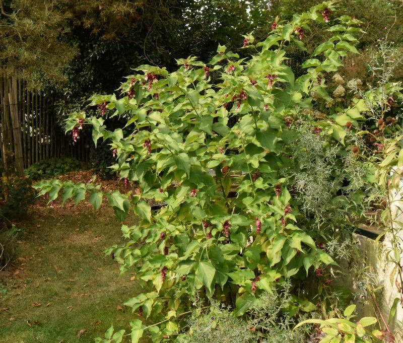 Mon arbre aux faisans acheté 1 £ au marché couvert de Bideford dans le North Devon.