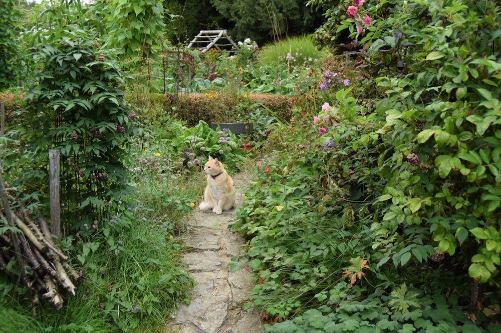 La glycine tubéreuse est passée sous le chemin (malgré la surveillance du chat ? )