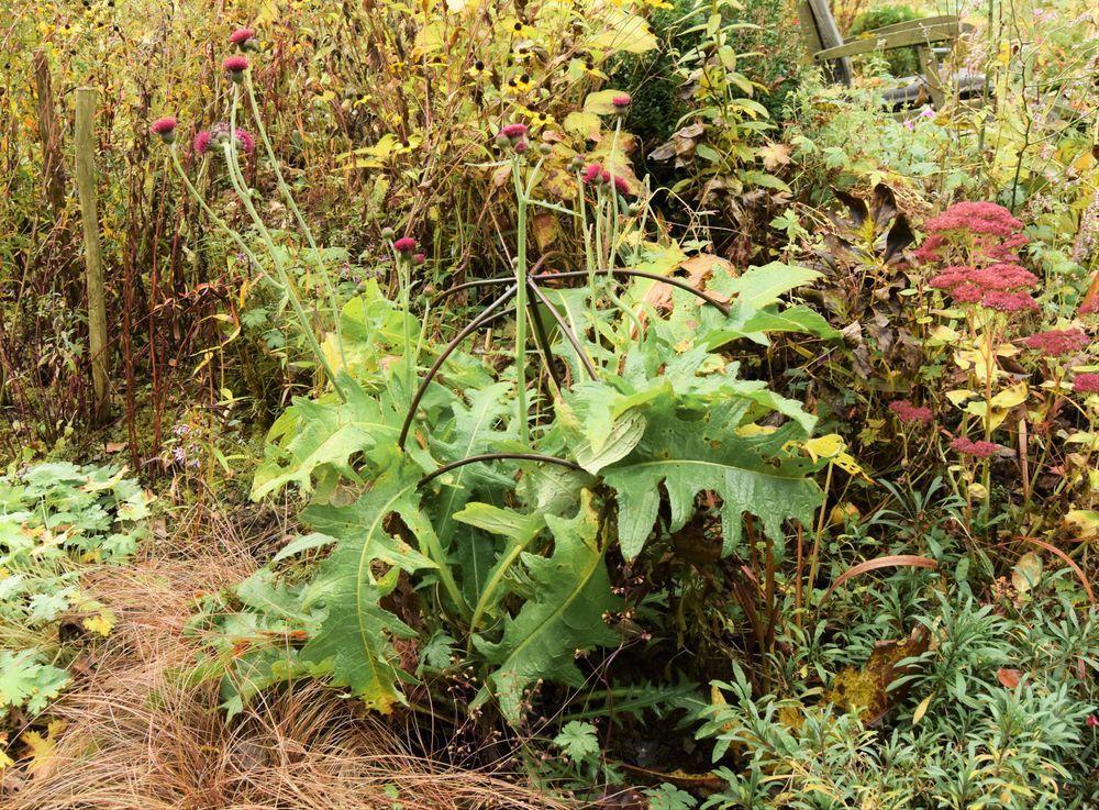 Le Cirsium rivulare 'Atropurpureum' reprend du service : il aura fleuri sans interruption depuis le printemps.