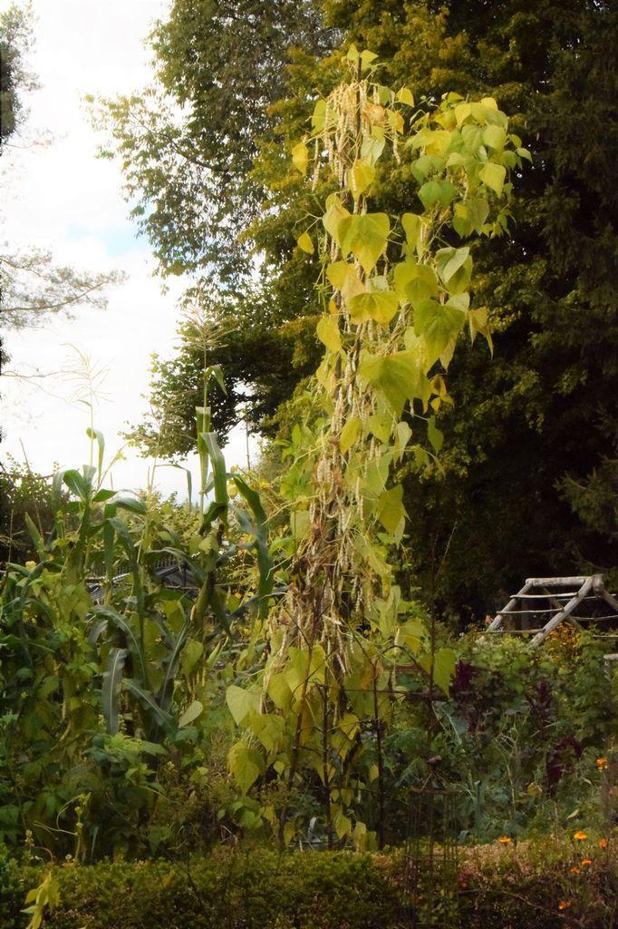 Octobre 2016 : les lianes sont couvertes de gousses