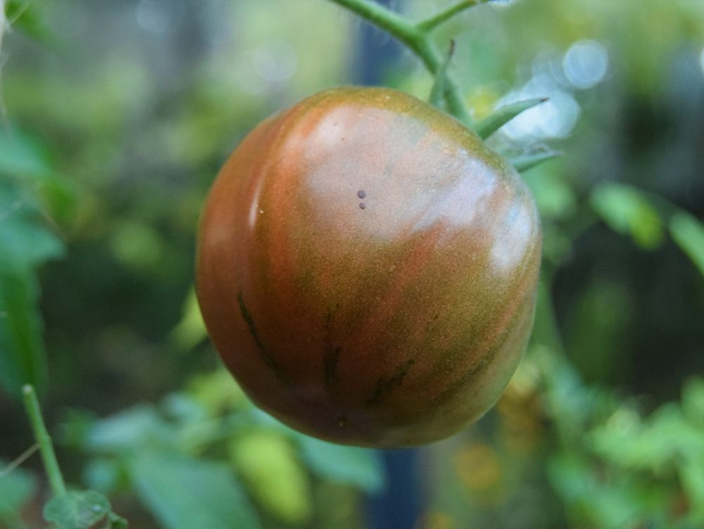 Arbuznyi : une belle grosse tomate.
