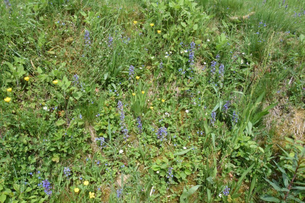 """Au printemps, le bugle rampant, les véroniques, les potentilles """"faux-fraisiers"""" et les boutons d'or émaillent la prairie de leurs couleurs."""