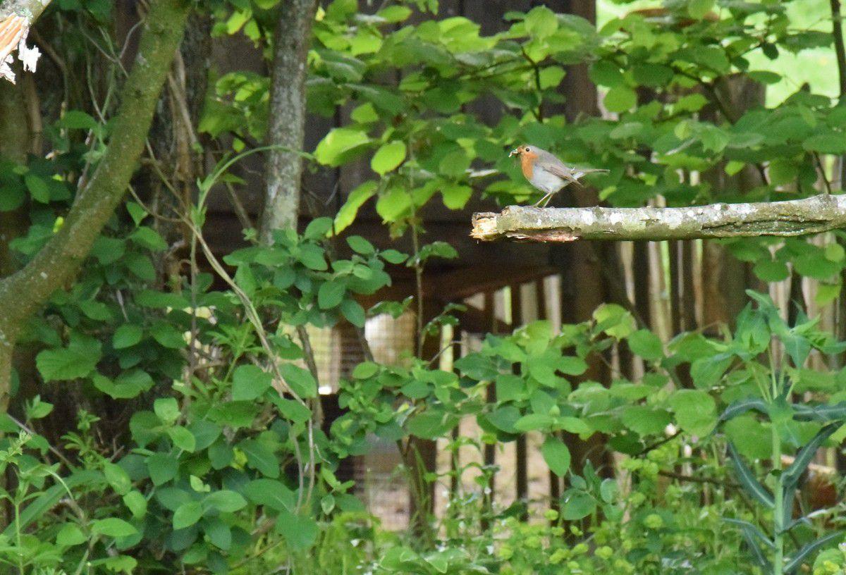 Le petit rouge-gorge : grand dévoreur de chenilles.