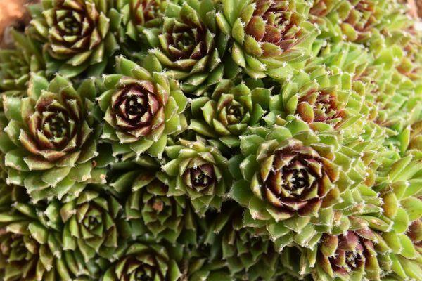 Les rosettes de joubarbe s'organisent géométriquement