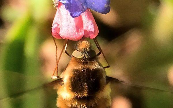 Des yeux de mouche, des antennes de mouche, des pattes de mouche et seulement deux ailes : c'est une mouche !